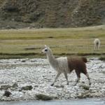 Llama bicolor