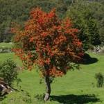Les arbres rouge vif en fleur