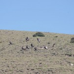 Festins de condors