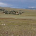 renard au loin