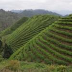 Jardin de thé